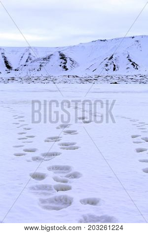 Fresh Tracks on the Ice from a Polar Bear with two Cubs. Spitsbergen Svalbard Norway