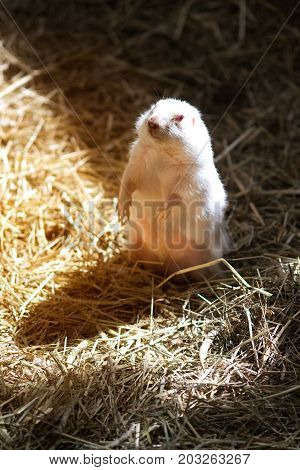 Prairie Dog standing up on dry grass.