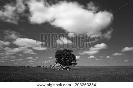 Lonely tree in a cereal field in summer