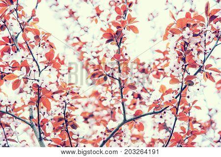 Cherry blossom in springtime. Seasonal natural scene. Beauty in nature. Interesting photo filter.