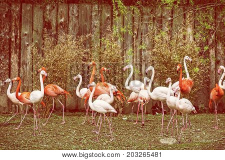 Colony of flamingos. Animal scene. Vibrant colors. Wading birds. Beauty in nature. Red photo filter.