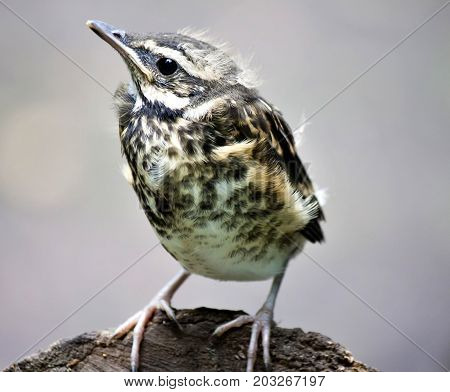 Chick Of The Thrush, Fieldfare