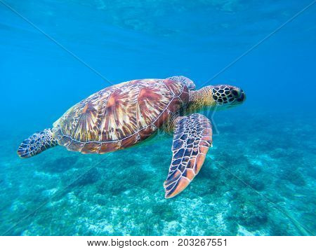 Green sea turtle in sea water. Cute sea turtle closeup. Marine species in wild nature. Turtle in tropical sea. Tortoise photo. Big turtle in blue water. Aquatic animal underwater. Tortoise banner