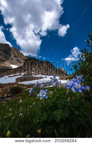 Colorado Columbine Aquilegia caerulea Blue Lake Mt Toll Trail