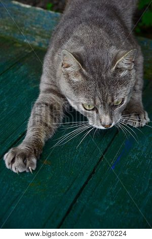 Gray cat cautiously crawls along the green boards