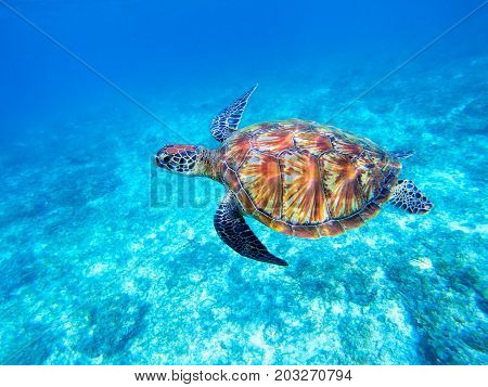 Green sea turtle in shallow seawater. Big green sea turtle closeup. Marine species in wild nature. Turtle in tropical sea. Tortoise photo. Big turtle swims. Aquatic animal underwater. Tortoise shell