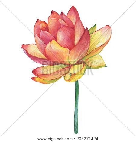 Flower lotus (water lily, Indian lotus, sacred lotus). Watercolor hand drawn painting illustration isolated on white background. For invitations, greeting cards, textile design, package, patterns.