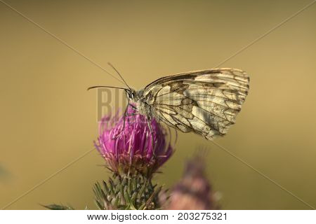 Marbled white (Melanargia galathea) butterfly female sitting on thistle flower. Macro shot of live insect in nature.