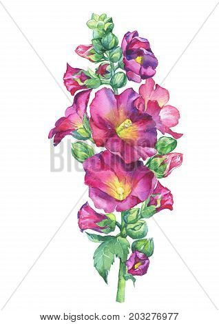 Alcea rosea, Mallow pink flower (malva, hollyhock, Althaea rugosa). Watercolor hand drawn painting floral illustration isolated on white background. For design -posters, greeting card, invitations.