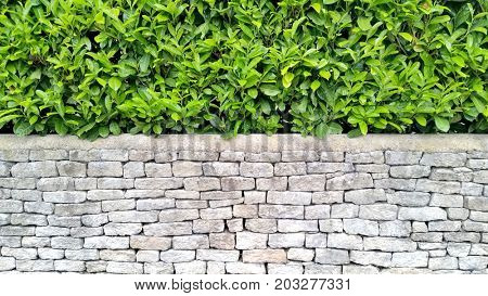 Old Stone wall with hedge