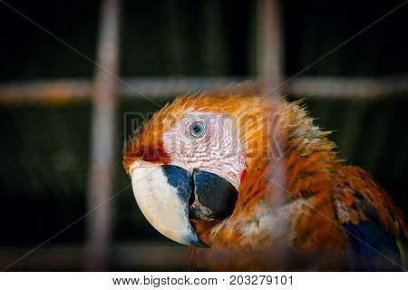 Scarlet macaw making eye contact from inside his cage in captivity close up portrait curious look
