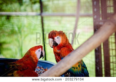 Two scarlet macaws making eye contact from inside their cage in captivity close up  curious looks