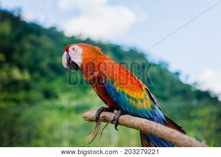 Scarlet macaw outdoors nature background resting on a stick