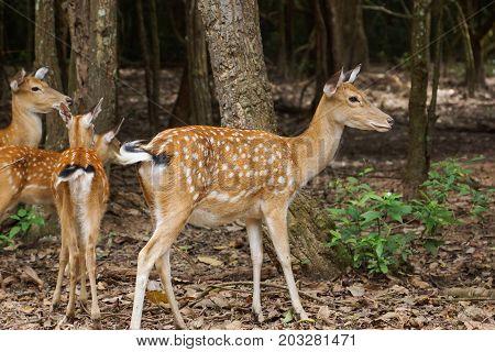 Sika deer Spotted deer / Japanese deer