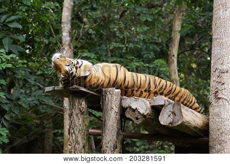 A fully grown Bengal tiger in an open zoo