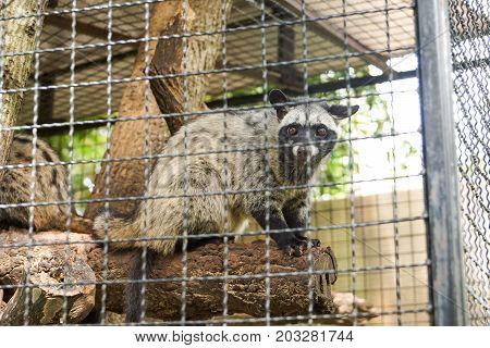 Asian palm civet in the cage / Paradoxurus hermaphroditus