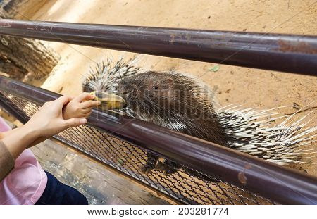 A tourist feeding banana to a porcupine