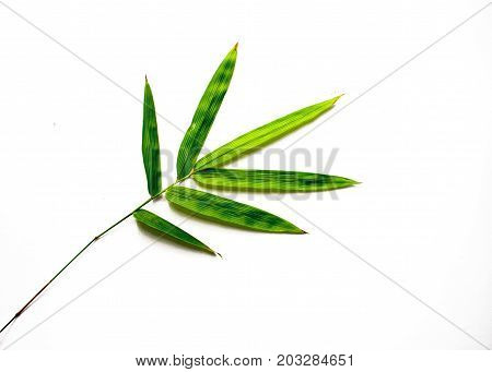 Green bamboo leaf on white background. Single bamboo leaf isolated. Bamboo decor. Asian evergreen plant. Oriental floral decor. Natural tropical green leaf for spa or beauty salon decor. Bamboo branch