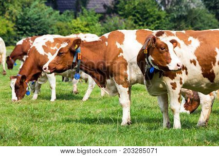Red and white Holstein Friesian cow grazing in grassland.