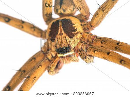 Tropical spider head and eyes macrophoto. Crab spider or thomisidae closeup. Exotic pet spider. Tropical insect studio photo on white background. Tropical nature wildlife. Dangerous hunter insect