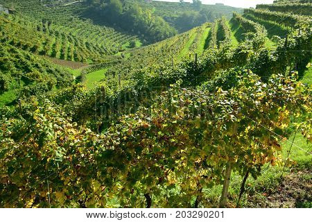 Rows of grape vines in the vineyard along the Prosecco highway in Italy