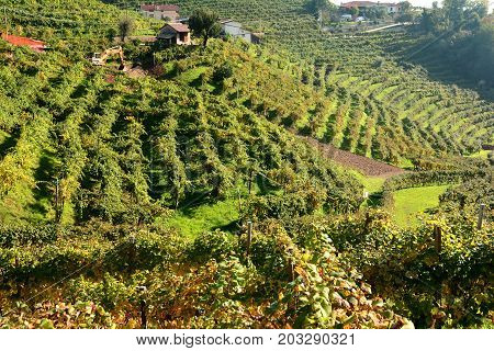 A vineyard filled with grape vines along the Prosecco highway in Italy