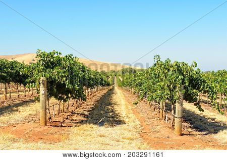 Rows of grapevines in the Barossa Valley - SA Australia