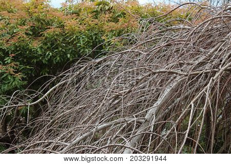 Bald cypress branches in winter, horizontal view
