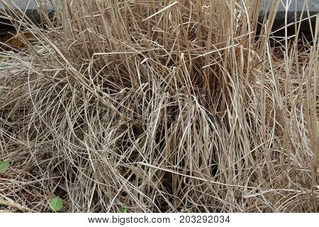 Background texture of dried ornamental grasses, horizontal aspect
