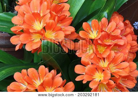 Orange Natal lily blossoms with leaves, horizontal aspect