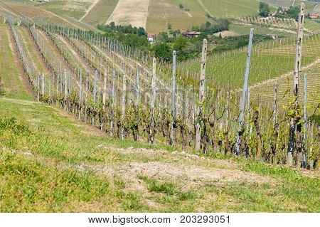 Beautiful Italian landscape. Vineyards from Langhe regionItaly agriculture. Unesco world heritage site