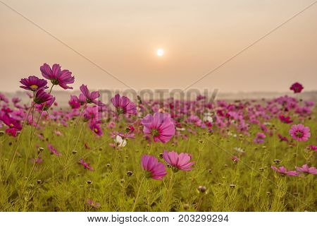 Pink and Red Cosmos flower field in the morning sunrise.cosmos flower field blooming in countryside.Soft focus and blurred for background