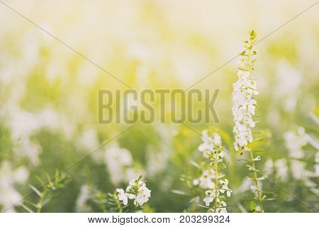 Lavender flowers blooming.field of white lavender flowers. lavender flowers in morning sunrise soft focus for background