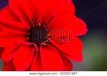 Gorgeous close-up of a red dahlia or dahlia coccinea with two ants creeping gently on the petals.
