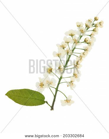 Pressed and dried Flowers brush bird-cherry isolated on white background. For use in scrapbooking floristry or herbarium.