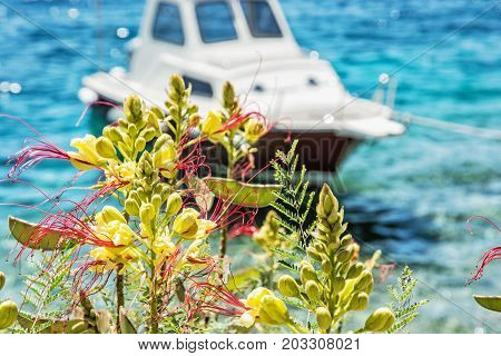 Beautiful freesia flowers and little boat in Maslinica Solta island Croatia. Summer vacation destination. Seasonal natural scene.