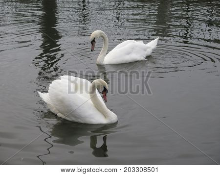 Two mute swans relaxing in dull afternoon sun on River Thames in Reading Berkshire England