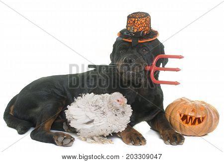 rottweiler chicken and halloween pumpkin in front of white background