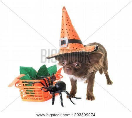 puppy chihuahua and halloween in front of white background