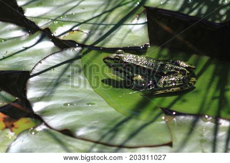 Green Frog On The Water Lilly Leaf