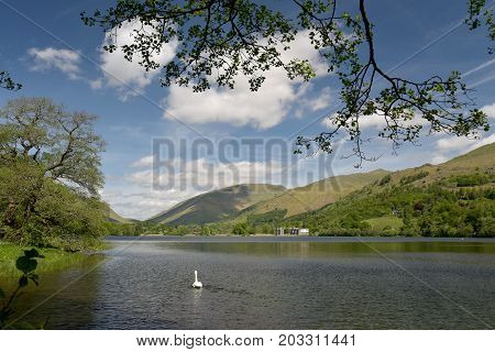 Swan swimming by shore of Grasmere, English Lake District