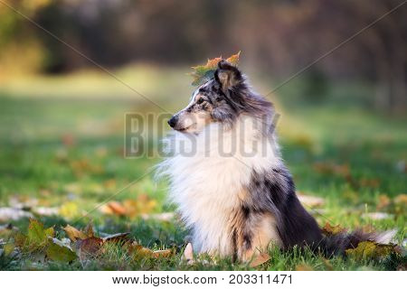 adorable sheltie dog posing outdoors in autumn