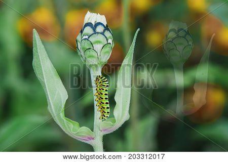 Green caterpillar swallowtail butterfly Papilio machaon on a green flower Zinnia