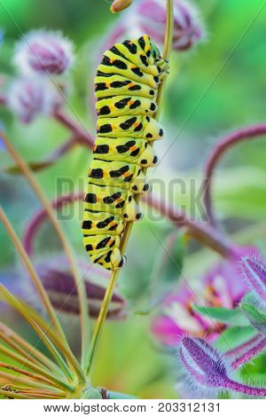 Green caterpillar swallowtail butterfly Papilio machaon on the branch of fennel, macro