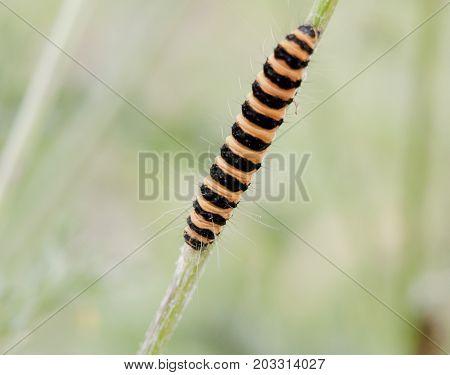 Beautiful Crawling Yellow And Black Caterpillar On Grass Macro In Field - Cinnabar Moth - Tyria Jaco