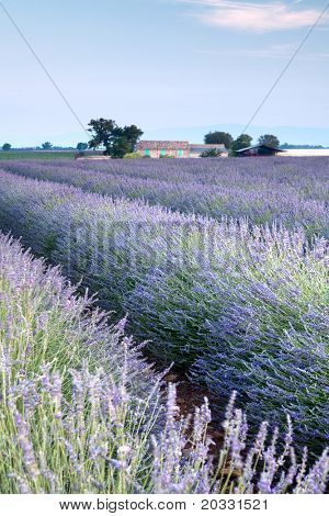 Vieuw on rows of scented flowers in the lavender fields of the French Provence near Valensole
