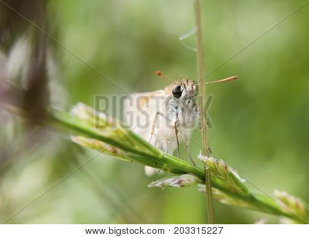 beautiful up close macro of small skipper butterfly on stem