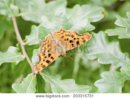 Perched Orange And Spotted Dot Comma Butterfly On Oak Leafs - Polygonia C-album
