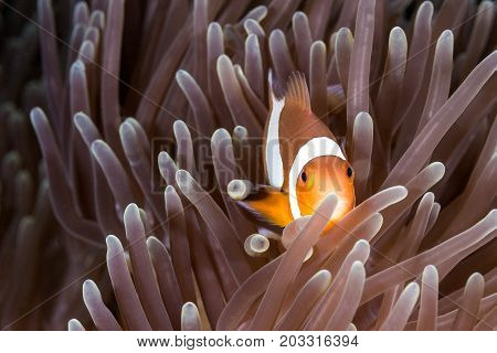 The Clown Anemone Fish in Sea Anemone