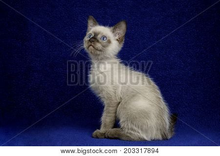 A cute Siamese colored kitten sits attentively on a dark blue background. His blues eyes are bright and his whiskers pop against the background.